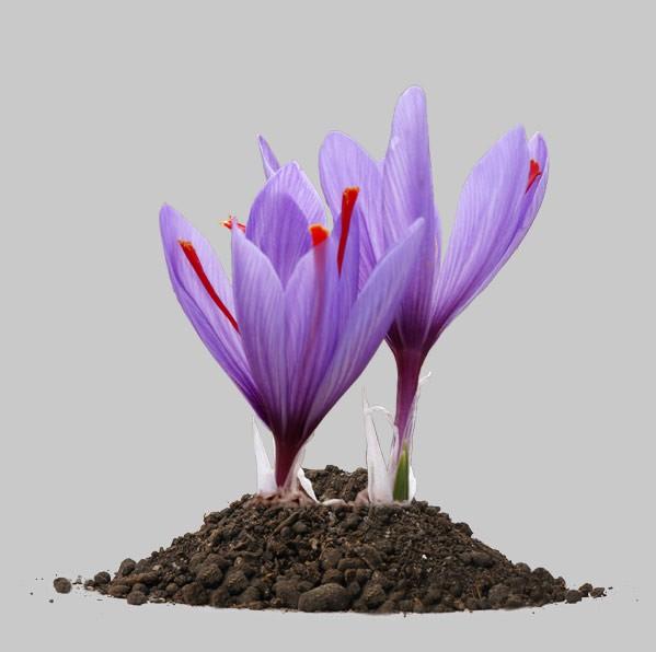 کود آلی بهبود دهنده رشد زعفران