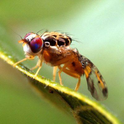 Ceratitis_capitata_mediterranean_fruit_fly