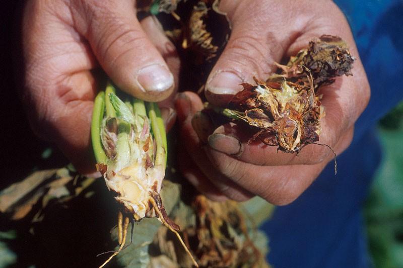 پرمژدگی ورتسیلوم (Verticillium)
