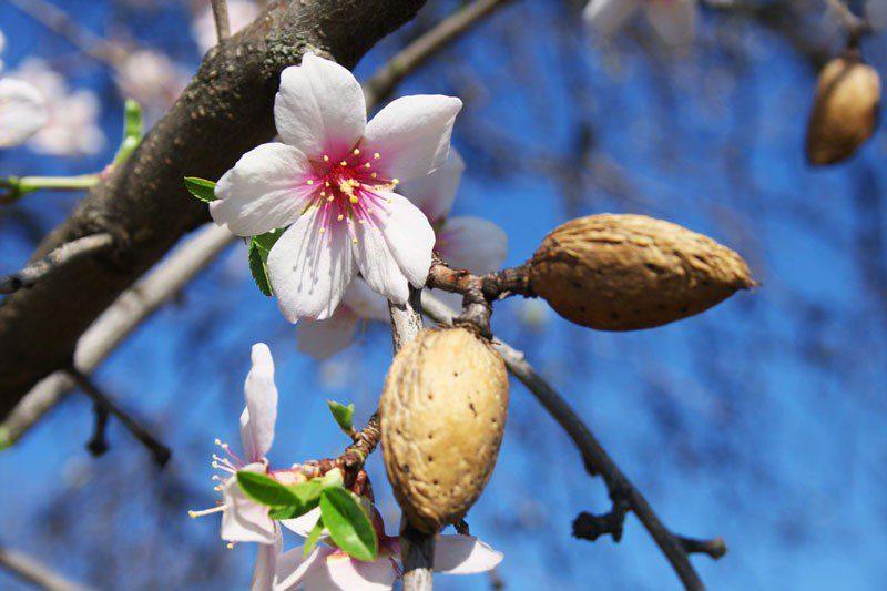 almond-pests